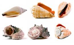 καθορισμένα κοχύλια θάλασσας Στοκ εικόνα με δικαίωμα ελεύθερης χρήσης