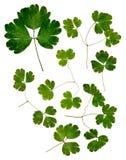 Καθορισμένα ξηρά λεπτά πιεσμένα πολύχρωμα πράσινα φύλλα Aquilegia Στοκ φωτογραφία με δικαίωμα ελεύθερης χρήσης