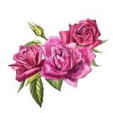 Καθορισμένα στοιχεία watercolor των τριαντάφυλλων Ρόδινα λουλούδια κήπων συλλογής, φύλλα, κλάδοι Βοτανική απεικόνιση που απομονών Στοκ φωτογραφία με δικαίωμα ελεύθερης χρήσης