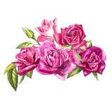 Καθορισμένα στοιχεία watercolor των τριαντάφυλλων Ρόδινα λουλούδια κήπων συλλογής, φύλλα, κλάδοι Βοτανική απεικόνιση που απομονών απεικόνιση αποθεμάτων
