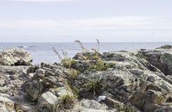 Καθορισμένη ανάπτυξη χλόης από τους βράχους κατά μήκος της ακτής του Μαίην στοκ εικόνες