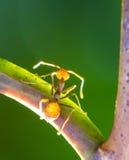 Καθορισμένο μυρμήγκι Στοκ Εικόνα