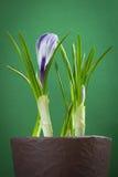 καθολικός Ιστός προτύπων σελίδων ίριδων χαιρετισμού λουλουδιών καρτών ανασκόπησης Στοκ Φωτογραφία