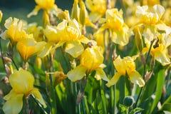 καθολικός Ιστός προτύπων σελίδων ίριδων χαιρετισμού λουλουδιών καρτών ανασκόπησης Κίτρινη ίριδα Στοκ Φωτογραφίες