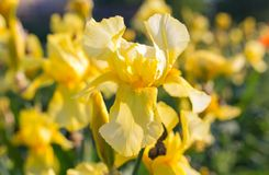 καθολικός Ιστός προτύπων σελίδων ίριδων χαιρετισμού λουλουδιών καρτών ανασκόπησης Κίτρινη ίριδα Στοκ Εικόνες