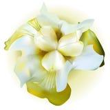 καθολικός Ιστός προτύπων σελίδων ίριδων χαιρετισμού λουλουδιών καρτών ανασκόπησης Ελεύθερη απεικόνιση δικαιώματος