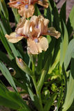 καθολικός Ιστός προτύπων σελίδων ίριδων χαιρετισμού λουλουδιών καρτών ανασκόπησης Στοκ Φωτογραφίες