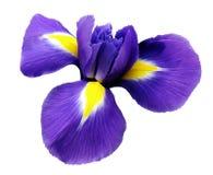 καθολικός Ιστός προτύπων σελίδων ίριδων χαιρετισμού λουλουδιών καρτών ανασκόπησης Άσπρο απομονωμένο υπόβαθρο με το ψαλίδισμα της  Στοκ εικόνα με δικαίωμα ελεύθερης χρήσης