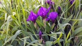 καθολικός Ιστός προτύπων σελίδων ίριδων χαιρετισμού λουλουδιών καρτών ανασκόπησης Στοκ φωτογραφίες με δικαίωμα ελεύθερης χρήσης