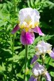 καθολικός Ιστός προτύπων σελίδων ίριδων χαιρετισμού λουλουδιών καρτών ανασκόπησης Στοκ εικόνες με δικαίωμα ελεύθερης χρήσης