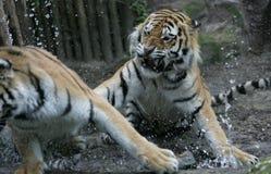 καθρέφτης tigerface στοκ εικόνες