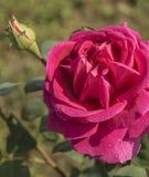 καθώς ανασκόπησης καρτών κόκκινος ρωμανικός αγάπης χαιρετισμού εστίασης πράσινος αυξήθηκε χρήσιμος βαλεντίνος συμβόλων Στοκ εικόνες με δικαίωμα ελεύθερης χρήσης