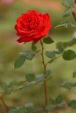καθώς ανασκόπησης καρτών κόκκινος ρωμανικός αγάπης χαιρετισμού εστίασης πράσινος αυξήθηκε χρήσιμος βαλεντίνος συμβόλων Στοκ Φωτογραφία