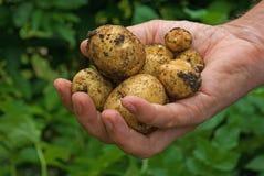 καινούριες πατάτες στοκ εικόνα
