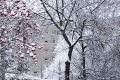 Καιρός, χειμώνας στην πόλη Δέντρα και δέσμες της κόκκινης σορβιάς στο χιόνι στοκ εικόνα