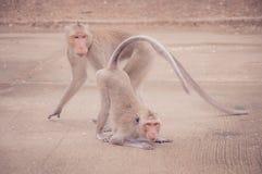 Και το δύο baboon Στοκ Φωτογραφία