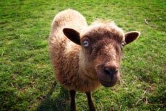 κακά πρόβατα Στοκ Εικόνες