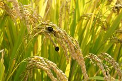 Κακοί σπόροι ποιοτικού ρυζιού λόγω του άσχημου καιρού, του εντόμου ή της ασθένειας Στοκ Εικόνες