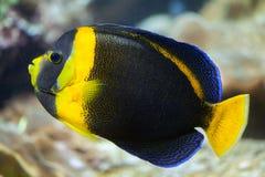 Κακογραμμένος angelfish (duboulayi Chaetodontoplus) Στοκ Εικόνες