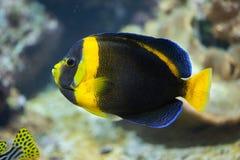 Κακογραμμένο angelfish duboulayi Chaetodontoplus Στοκ εικόνα με δικαίωμα ελεύθερης χρήσης