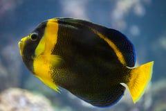 Κακογραμμένο angelfish duboulayi Chaetodontoplus Στοκ Φωτογραφία