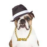Κακό μπουλντόγκ σκυλιών στοκ εικόνες