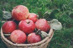Καλάθι με τη συγκομιδή μήλων στη χλόη στον κήπο, τοπ άποψη Στοκ Εικόνα