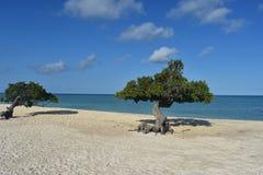 Καλά δέντρα Divi Divi σε μια παραλία Aruban Στοκ εικόνα με δικαίωμα ελεύθερης χρήσης