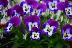Καλά χρωματισμένα pansy λουλούδια σε ένα δοχείο στοκ φωτογραφίες