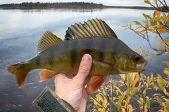 Καλή αλιεία στους βόρειους ποταμούς, πιασμένη πέρκα στοκ φωτογραφία με δικαίωμα ελεύθερης χρήσης