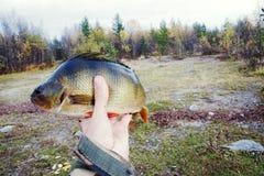 Καλή αλιεία στους βόρειους ποταμούς, πιασμένη πέρκα στοκ φωτογραφίες