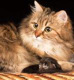 Καλή σιβηρική γάτα Στοκ φωτογραφία με δικαίωμα ελεύθερης χρήσης