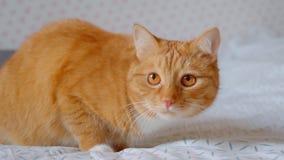 Καλή συνεδρίαση γατών πιπεροριζών χνουδωτή στο κρεβάτι που προσέχει προς τα πάνω να ενδιαφερθεί ήρεμος και στο σπίτι φιλμ μικρού μήκους