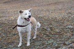 Καλή καλή όμορφη ευφυής φυλή inu akita σκυλιών ιαπωνική με τις ιδιαίτερες προσοχές και ανοικτό σαγόνι στο λουρί δέρματος Στοκ εικόνα με δικαίωμα ελεύθερης χρήσης