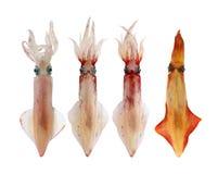καλαμάρι θαλασσινών σει&rh Στοκ εικόνες με δικαίωμα ελεύθερης χρήσης