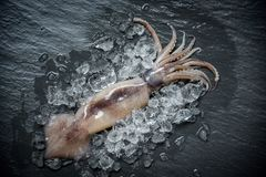 Καλαμάρι θαλασσινών στον πάγο/φρέσκο ωκεάνιο γαστρονομικό ακατέργαστο καλαμάρι χταποδιών με το σκοτάδι πάγου στοκ φωτογραφία με δικαίωμα ελεύθερης χρήσης