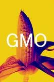 καλαμπόκι ΓΤΟ Στοκ Εικόνες