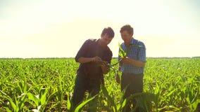 Καλαμπόκι δύο μελέτη αγροτών για το smartphone που περπατά μέσω του τομέα του προς τη κάμερα σε αργή κίνηση τηλεοπτική cornfield  απόθεμα βίντεο
