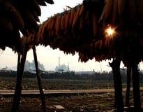 Καλαμπόκι  Ινδικό καλαμπόκι  αραβόσιτος  αυτί του αραβόσιτου  mealie στοκ φωτογραφίες με δικαίωμα ελεύθερης χρήσης