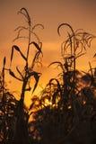 Καλαμπόκι στον τομέα στο ηλιοβασίλεμα στοκ φωτογραφία με δικαίωμα ελεύθερης χρήσης