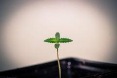 Καλιφορνέζικο σπορόφυτο καννάβεων, δίνω τις ευχαριστίες για τη νέα ζωή στοκ φωτογραφία