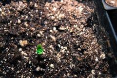 Καλιφορνέζικο σπορόφυτο καννάβεων, δίνω τις ευχαριστίες για τη νέα ζωή στοκ εικόνες με δικαίωμα ελεύθερης χρήσης
