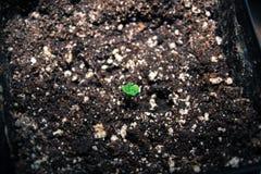 Καλιφορνέζικο σπορόφυτο καννάβεων, δίνω τις ευχαριστίες για τη νέα ζωή στοκ εικόνες