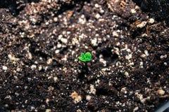 Καλιφορνέζικο σπορόφυτο καννάβεων, δίνω τις ευχαριστίες για τη νέα ζωή στοκ φωτογραφία με δικαίωμα ελεύθερης χρήσης