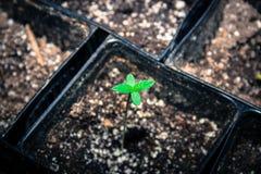Καλιφορνέζικο σπορόφυτο καννάβεων, δίνω τις ευχαριστίες για τη νέα ζωή στοκ εικόνα