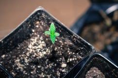 Καλιφορνέζικο σπορόφυτο καννάβεων, δίνω τις ευχαριστίες για τη νέα ζωή στοκ φωτογραφίες με δικαίωμα ελεύθερης χρήσης