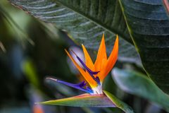 Καλιφόρνια που καλλιεργεί, μεγάλα φύλλα Δεκέμβριος bloomimg στοκ εικόνα με δικαίωμα ελεύθερης χρήσης