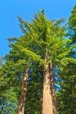Καλιφόρνια redwoods που υψώνεται σε έναν μπλε ουρανό στοκ φωτογραφίες
