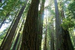 Καλιφόρνια redwoods Στοκ Εικόνες