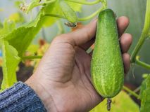 Καλλιέργεια θερμοκηπίων των αγγουριών Χέρι που κρατά το μικρό αγγούρι ανάπτυξης Αγγούρι στο χέρι Στοκ φωτογραφίες με δικαίωμα ελεύθερης χρήσης